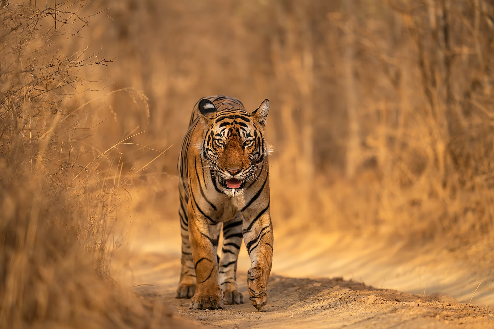 tiger walking head on alpha 9