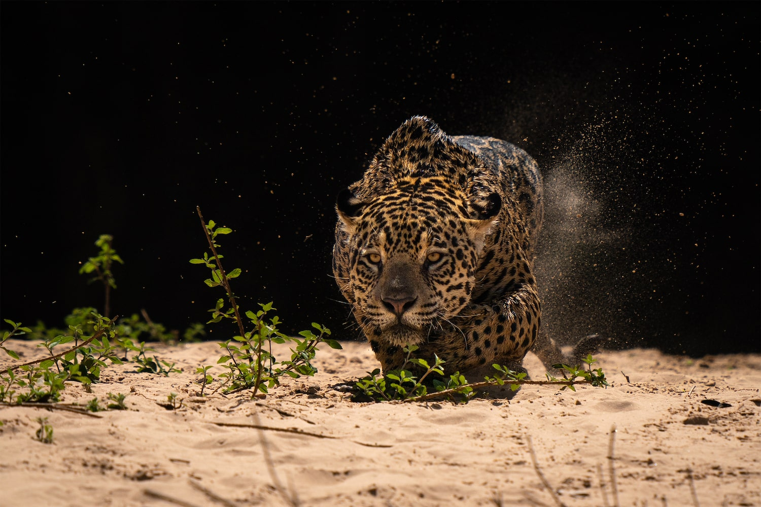Hunting Jaguar