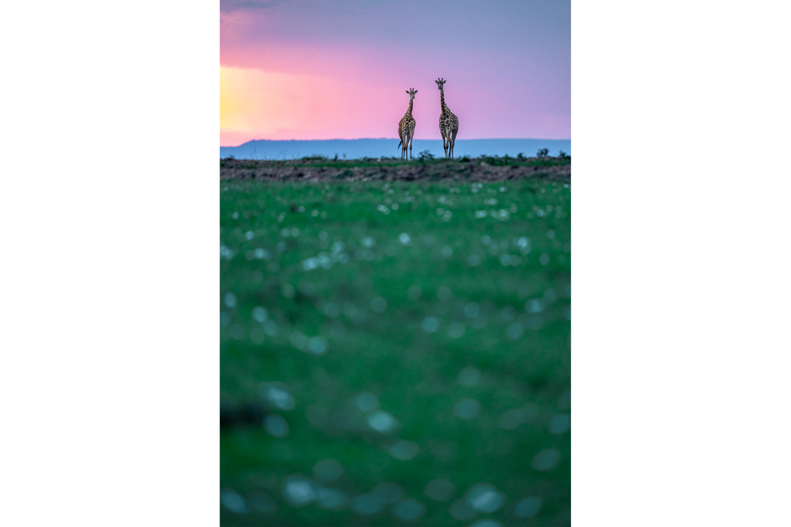 two giraffes against sunset alpha 9