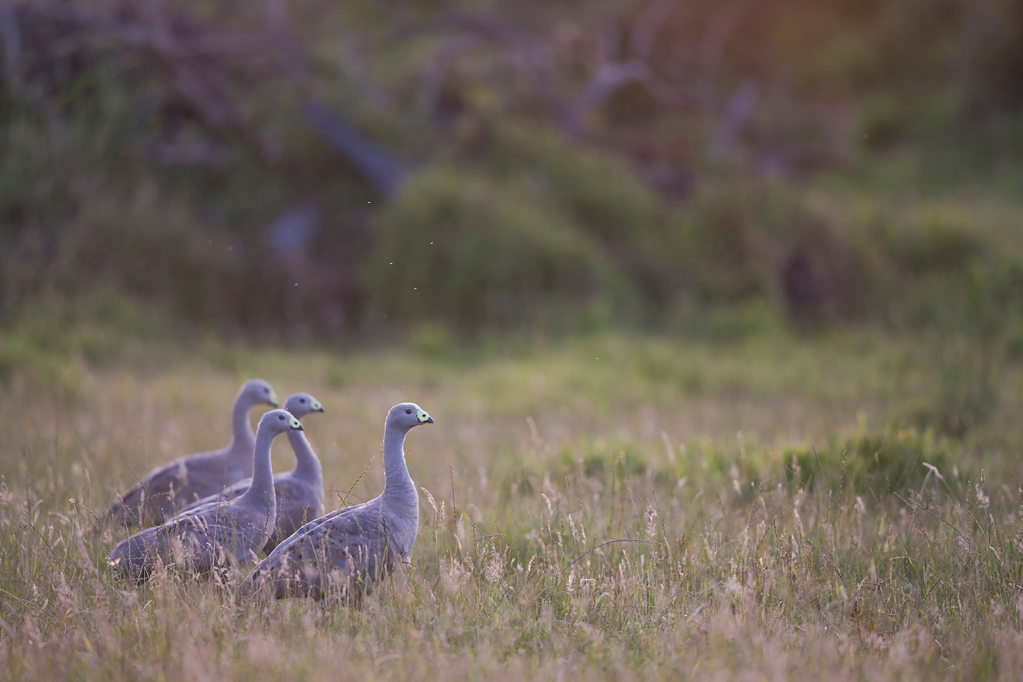 Image of group of birds in Tasmania