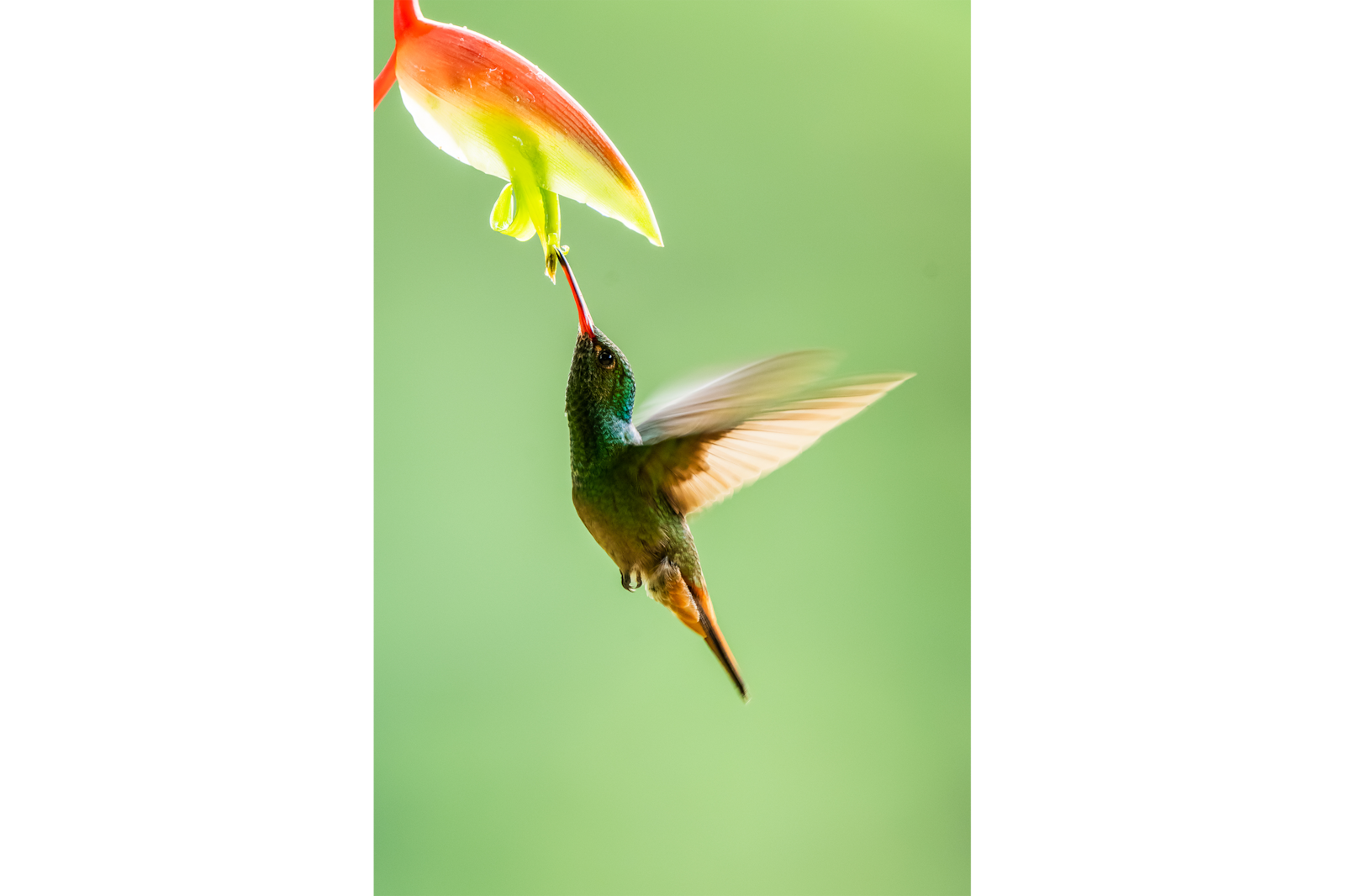 Rufous Tailed Hummingbird costa rica