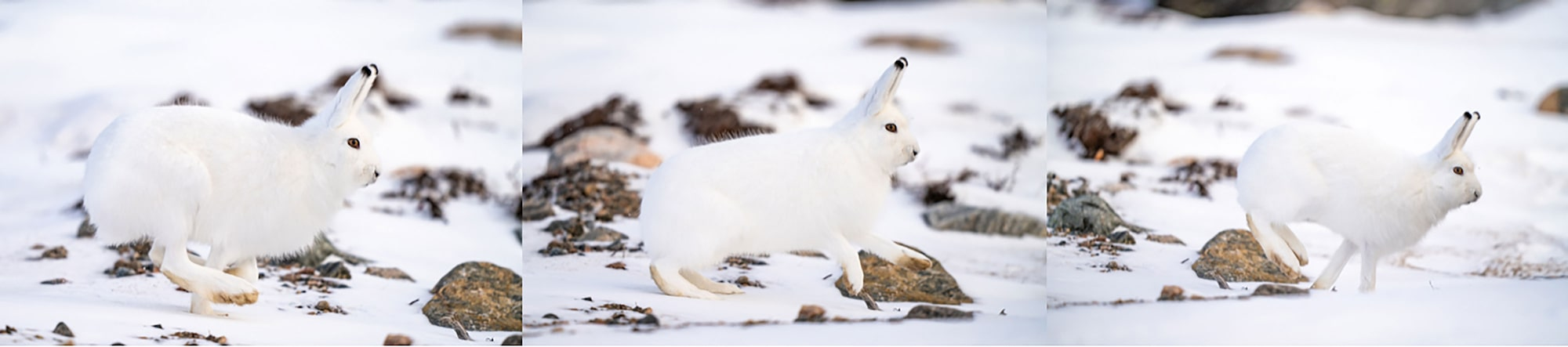 Alpha Universe Nate Luebbe Sony 400mm Churchil arctic hare triptych
